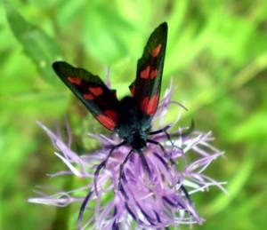 Бабочка-пестрянка