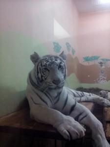 Екатеринбург бенгальский белый тигр