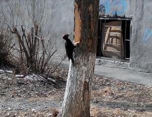Дятел во дворе Ленинского района