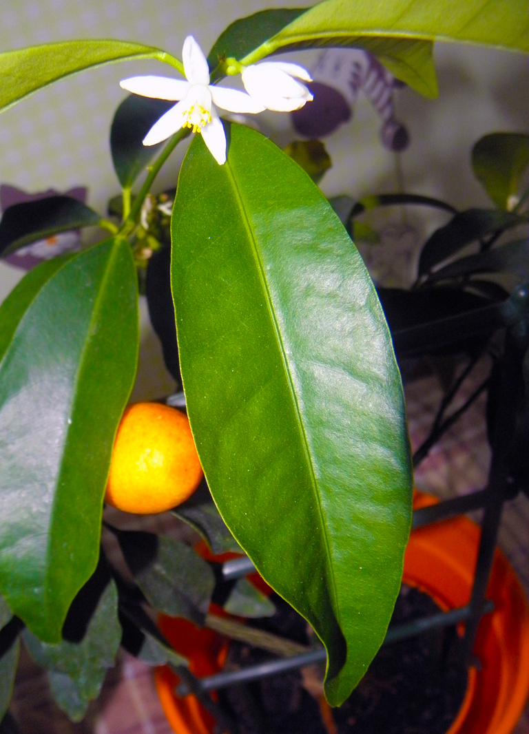 Цветы и плоды кумквата